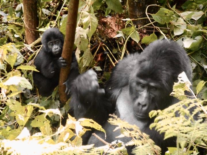 Uganda see thesegorillas